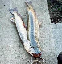 Двухголовая рыба