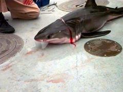 Дитёныш белой акулы